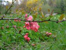 Ροζ ανθίσεων της Apple στον κήπο Στοκ φωτογραφίες με δικαίωμα ελεύθερης χρήσης