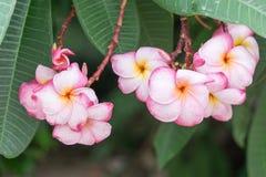 Ροζ ανθίσματος στον κήπο Στοκ Φωτογραφία