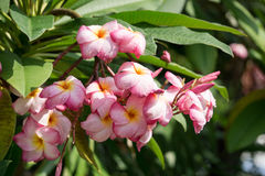 Ροζ ανθίσματος στον κήπο Στοκ Εικόνα