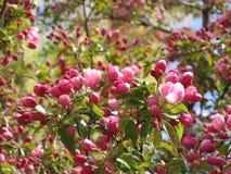 ροζ ανθών μήλων Στοκ Εικόνες