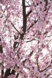 ροζ ανθών Στοκ εικόνα με δικαίωμα ελεύθερης χρήσης