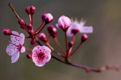 ροζ ανθών Στοκ εικόνες με δικαίωμα ελεύθερης χρήσης