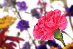 ροζ γαρίφαλων Στοκ Φωτογραφία