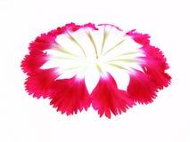 ροζ γαρίφαλων Στοκ εικόνα με δικαίωμα ελεύθερης χρήσης