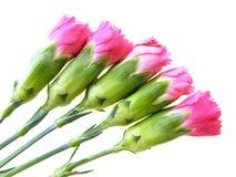 ροζ γαρίφαλων Στοκ Φωτογραφίες