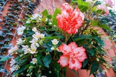 Ροζ γαρίφαλων ή caryophyllus Dianthus Στοκ φωτογραφίες με δικαίωμα ελεύθερης χρήσης