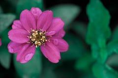 ροζ δροσιάς Στοκ Εικόνες
