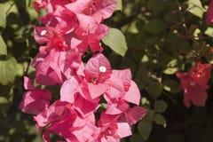 ροζ εγγράφου λουλουδιών Στοκ εικόνα με δικαίωμα ελεύθερης χρήσης
