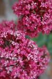 Ροζ & λευκά Στοκ φωτογραφία με δικαίωμα ελεύθερης χρήσης