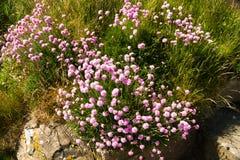 Ροζ θάλασσας, maritima Armeria ή thrift λουλούδια Στοκ εικόνα με δικαίωμα ελεύθερης χρήσης