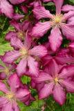 ροζ κήπων κινηματογραφήσ&epsil Στοκ Εικόνα