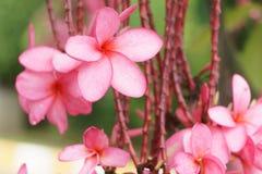 ροζ κήπων λουλουδιών Στοκ Εικόνες