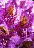 ροζ κήπων λουλουδιών Rhododendron Στοκ Φωτογραφίες