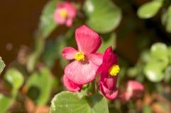 ροζ κήπων λουλουδιών στοκ εικόνες με δικαίωμα ελεύθερης χρήσης