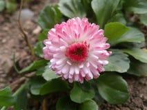 ροζ κήπων λουλουδιών Στοκ εικόνα με δικαίωμα ελεύθερης χρήσης