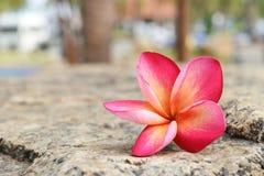 Ροζ και κίτρινος των λουλουδιών plumeria στην πέτρα Στοκ φωτογραφίες με δικαίωμα ελεύθερης χρήσης