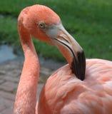 ροζ καλλωπισμού φλαμίγκ& Στοκ Εικόνες