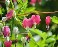 ροζ καρδιών λουλουδιών Στοκ φωτογραφίες με δικαίωμα ελεύθερης χρήσης