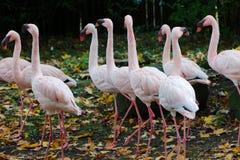 ροζ κοπαδιών φλαμίγκο Στοκ Φωτογραφίες