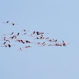 ροζ κοπαδιών φλαμίγκο Po λιμνοθάλασσα ποταμών Στοκ φωτογραφίες με δικαίωμα ελεύθερης χρήσης