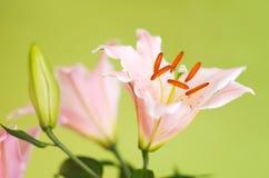 ροζ κρίνων λουλουδιών Στοκ Εικόνες