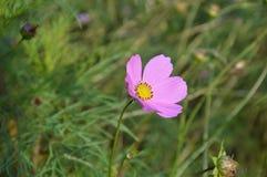 ροζ κρίνων λουλουδιών Στοκ Φωτογραφίες