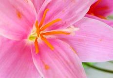 ροζ κρίνων λουλουδιών Στοκ εικόνες με δικαίωμα ελεύθερης χρήσης