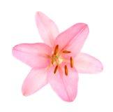 ροζ κρίνων Στοκ Εικόνες
