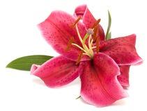 ροζ κρίνων Στοκ φωτογραφία με δικαίωμα ελεύθερης χρήσης
