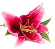 ροζ κρίνων Στοκ Εικόνα