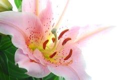 ροζ κρίνων στοκ φωτογραφίες με δικαίωμα ελεύθερης χρήσης