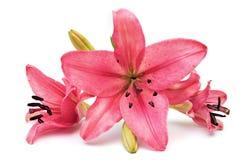 ροζ κρίνων Στοκ εικόνες με δικαίωμα ελεύθερης χρήσης