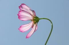 ροζ κόσμου Στοκ Εικόνες