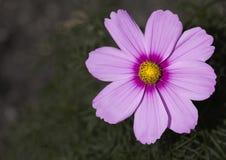 ροζ κόσμου Στοκ Φωτογραφίες