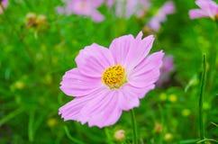 Ροζ κόσμου Στοκ εικόνα με δικαίωμα ελεύθερης χρήσης