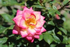 Ροζ, λευκό, και Yellow Rose Στοκ Εικόνες