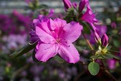 Ροζ λουλουδιών αζαλεών Στοκ εικόνα με δικαίωμα ελεύθερης χρήσης