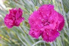 ροζ λουλουδιών γαρίφαλων Στοκ εικόνα με δικαίωμα ελεύθερης χρήσης
