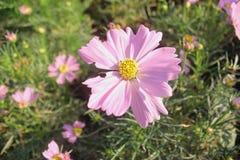 Ροζ λουλουδιών διαβίωσης Pinkภ¡ λουλουδιών διαβίωσης Στοκ Εικόνες