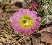 ροζ λουλουδιών κάκτων Στοκ Φωτογραφία