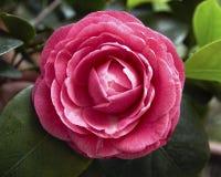 ροζ λουλουδιών κινηματ Στοκ φωτογραφία με δικαίωμα ελεύθερης χρήσης