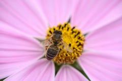 ροζ λουλουδιών μελισ&sig Στοκ φωτογραφία με δικαίωμα ελεύθερης χρήσης