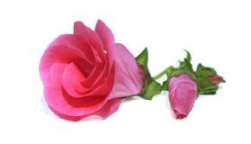 ροζ λουλουδιών οφθαλ& Στοκ Εικόνα