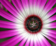 ροζ λουλουδιών Στοκ Εικόνα