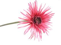 ροζ λουλουδιών Στοκ φωτογραφία με δικαίωμα ελεύθερης χρήσης