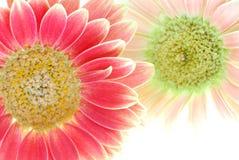 ροζ λουλουδιών Στοκ φωτογραφίες με δικαίωμα ελεύθερης χρήσης