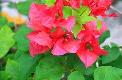 Ροζ λουλουδιών Bougainvillea με τα πράσινα φύλλα όμορφα στον κήπο Επιλέξτε το ρηχό βάθος εστίασης του τομέα Στοκ Εικόνες