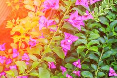 Ροζ λουλουδιών Bougainvillea με τα πράσινα φύλλα όμορφα στον κήπο με τον ελαφρύ τόνο ηλιοβασιλέματος Στοκ φωτογραφία με δικαίωμα ελεύθερης χρήσης