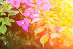 Ροζ λουλουδιών Bougainvillea με τα πράσινα φύλλα όμορφα στον κήπο με τον ελαφρύ τόνο ηλιοβασιλέματος Στοκ Φωτογραφίες