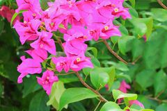 Ροζ λουλουδιών Bougainvillea με τα πράσινα φύλλα όμορφα στον κήπο Στοκ Φωτογραφία